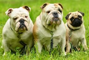 2 bulldogs anglais et un carlin assis sur de l herbe