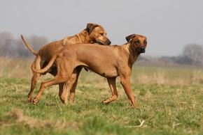2 chiens amoureux