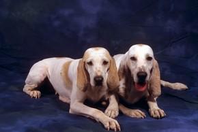 2 chiens porcelaine couches en studio sur fond bleu