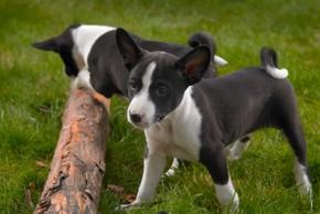 2 chiots basenji noir et blanc qui jouent avec un tronc d arbre