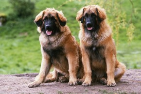 2 leonbergers assis