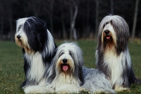 3 bearded collie assis ensemble