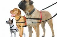 3 chiens avec le harnais halti