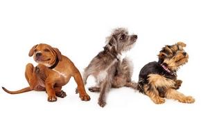 3 chiens qui se grattent