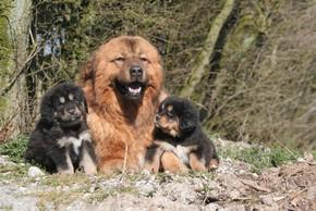 3 dogues du tibet couche dans la nature