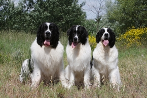 3 landseer qui tirent la langue