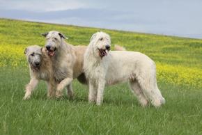 3 levriers irlandais dans un champs