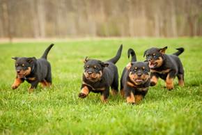 4 chiots rottweiler qui courent sur l herbe