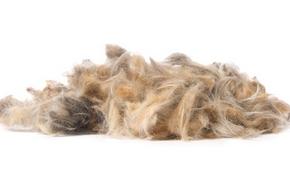 allergie au poil de chien description sympt mes rem des. Black Bedroom Furniture Sets. Home Design Ideas