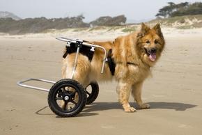 Arthrose chien