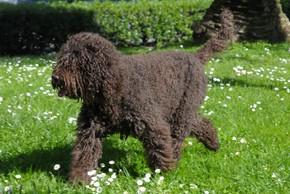 Barbet noir qui trottine sur l herbe