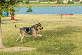 Bluetick coonhound qui court au bort d un lac