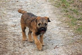 Border terrier qui trottine dans la foret