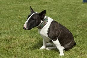 Bull terrier noir et blanc assis dans l herbe