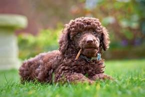 Caniche marron couche sur l herbe