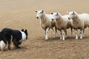 Chien border collie avec son troupeau