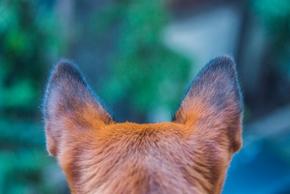 Chien de dos avec les oreilles redressees