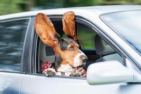 Chien en voiture avec les oreilles en l air