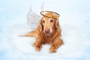 Chien golden en ange