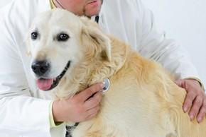 Chien golden en consultation chez le veterinaire