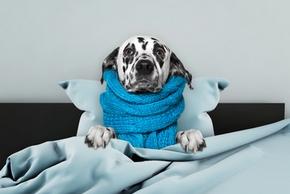 Chien malade dans son lit avec une echarpe