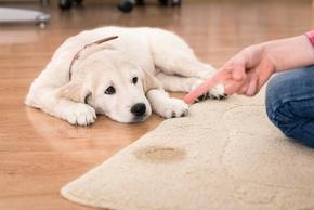 43af2d461767 Dresser son chien à ne pas faire pipi dans la maison