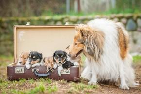 Chienne colley avec ses petits dans une valise