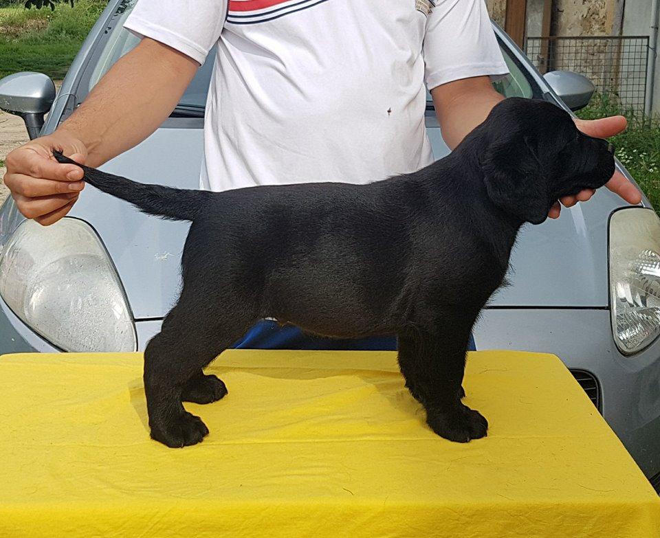 http://www.mouss-le-chien.com/medias/images/chiot-labrador-noir.jpg