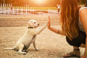 Chiot labrador qui dit bonjour
