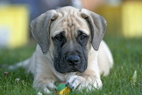 Chiot mastiff couche sur l herbe