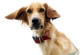 Choisir collier dressage chien