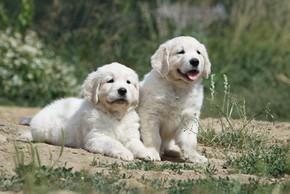Choisir eleveur de chien