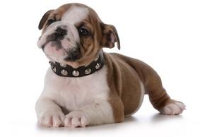 Collier harnais chien