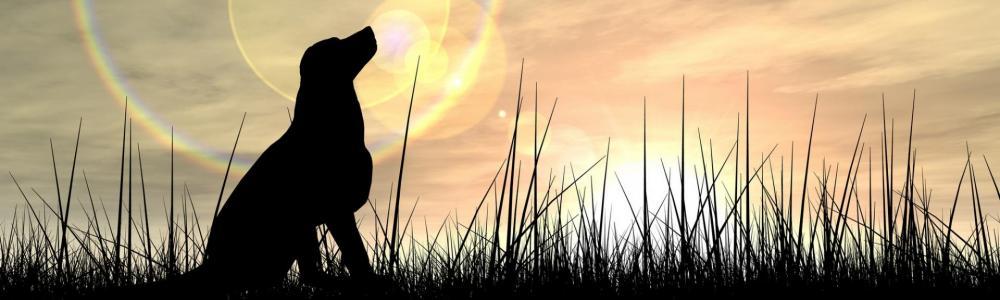 Labrador au clair de lune