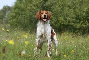 Epagneul breton marron et blanc debout dans un champs