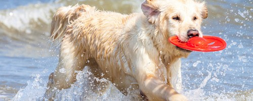 Golden retriever a la mer avec son frisbee