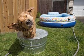 Golden retriever qui se baigne dans une bassine