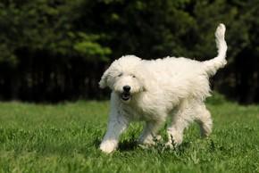 Goldendoodle blanc debout sur de l herbe poils aux vent