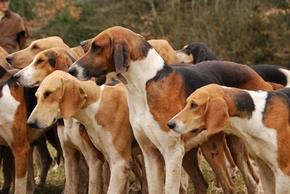 Groupe de chiens courant