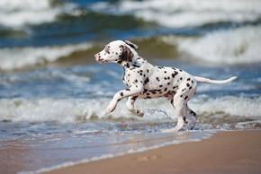 Jeune chiot dalmatien a la mer