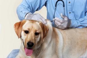 Labrador sable qui fait son vaccin