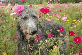 Levrier ecossais dans un champs de fleurs