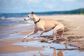 Levrier qui court sur la plage