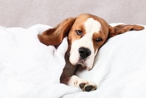 Maladie chien