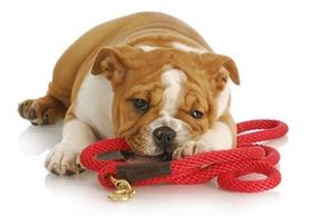 Materiel dressage chien