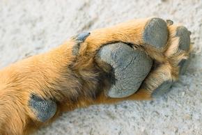 Patte de chien avec ergot