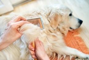 Perte de poil chez le chien