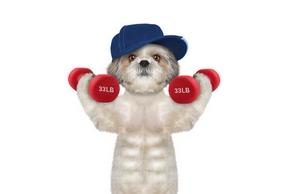 Petit chien muscle avec des alter
