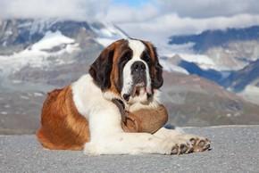 Saint bernard couche a la montagne