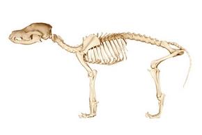 Squelette d un chien 1